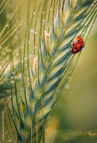 Beautiful ladybug macro shot on wheat tip in vertical perspective