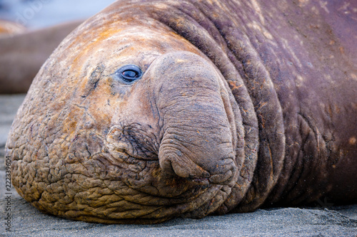 Fototapeta Portrait shots of seals, sea lions and elephant seals in Antarctica