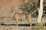 Dominant male cheetah (Acinonyx jubatus) marking its territory, Kalahari desert, South Africa. - 222344640