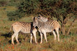 Two plains zebras (Equus burchelli) in natural habitat, South Africa.