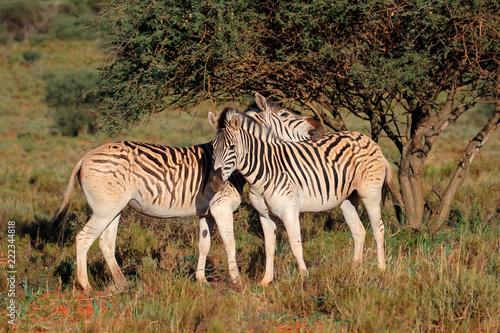 Fototapeta Two plains zebras (Equus burchelli) in natural habitat, South Africa.