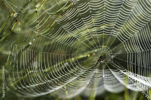 Fototapeta spider web with dew drops on a meadow in the morning back light, garden cross spider (Araneus diadematus)
