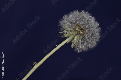 Fiore Di Tarassaco O Soffione Su Sfondo Blu Buy Photos Ap