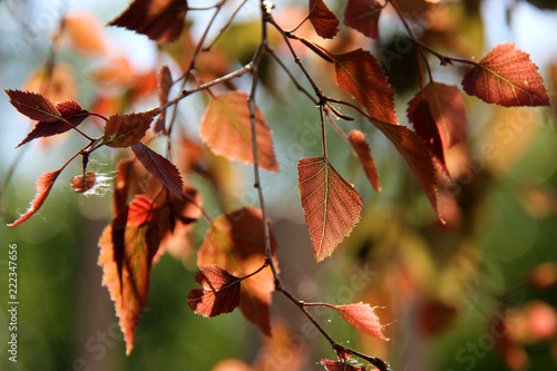 Fototapeta Birch branches with colorful leaves in sunlight. Summer background with birch leaves.
