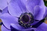 Close up of a purple anemone flower in bloom - 222352468