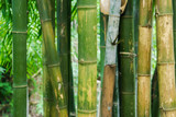 Close up of Bamboo branch in bamboo forest, beautiful green nature background