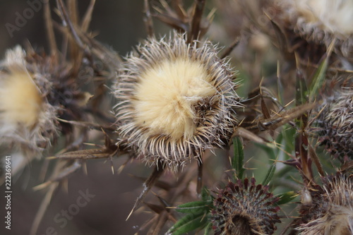 Fototapeta Thistle dried out