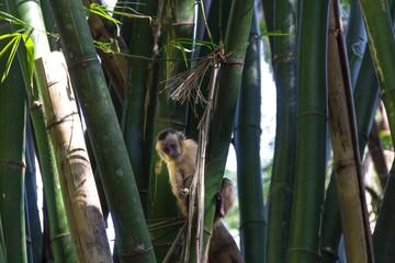 Monkey from Brazil © Photo Costa Neto