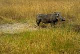 A Warthog in a Grassy Plain, Ngorongoro Crater, Tanzania - 222393038
