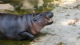pigmy hippo in the water - 222397662