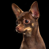 Toy Terrier Dog on Isolated Black Background in studio