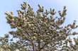 Snow on the branches of a pine tree in the nature