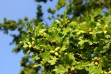 Acorns on oak branches on the blue sky background