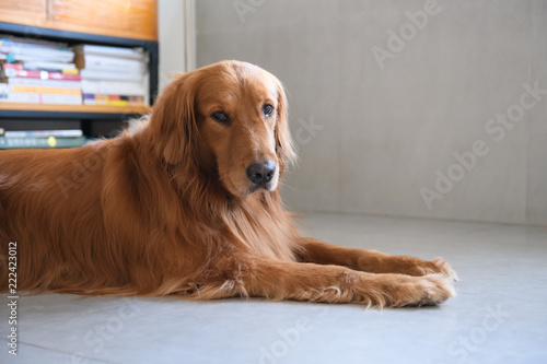 Foto Murales Golden retriever lying on the ground