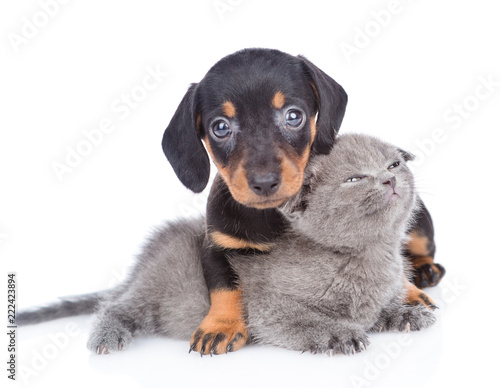 dachshund puppy hugging tender kitten. Isolated on white background - 222423894
