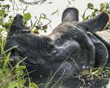 Indian rhinoceros Rhinoceros unicornis or one-horned rhinoceros - 222439088
