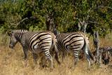 Zebra in bush, Botsvana Africa wildlife - 222442030