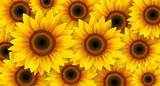 Sunflowers background, summer flowers vector illustration. - 222442673