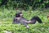 chimpanzee lying and relax on green grass