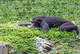 chimpanzee lying and relax on green grass - 222444089
