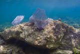 Blue coral fan
