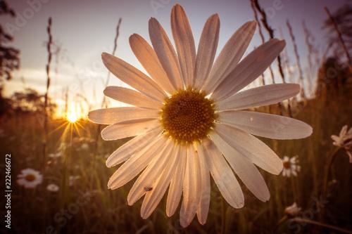 Chamomile kwitnie na polu