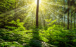 Landschaft Wald junger Mischwald mit strahlender Sonne - Landscape forest young mixed forest with shining sun