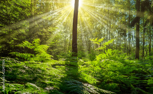Foto Murales Landschaft Wald junger Mischwald mit strahlender Sonne - Landscape forest young mixed forest with shining sun