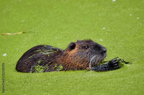 Foto Murales Nutria frisst Algen im Wasser mit den Händen