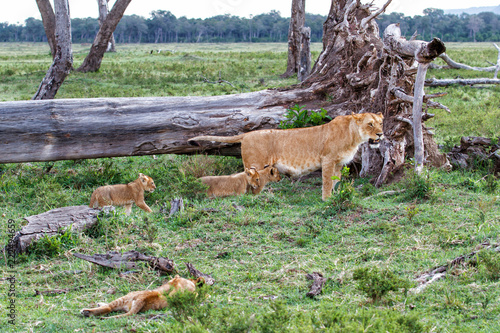 Fototapeta Lion family, with small cubs, in the Masai Mara National Park in Kenya