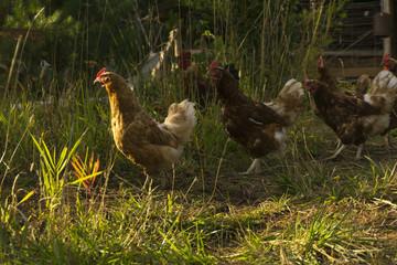 hens strolling through the village court