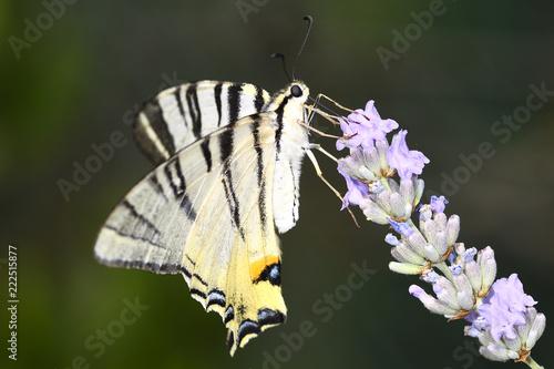 Farfalla Macaone - 222515877