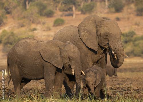 Fototapeta elephant in Chobe National Park