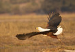 Fish Eagle in Chobe National Park