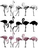 Set of flamingo on a white background