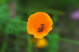 Natur pur - Honigbiene sammelt pollen von  orangener Blume  - 222567075