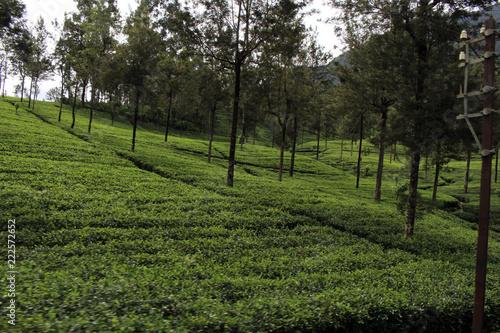 The green tea plantation along the way on the scenic train to Ella - 222572652