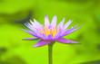 Leinwandbild Motiv Pink lotus blossoms or water lily flowers blooming on pond