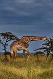 Giraffe in Africa 2, Nairobi National Park - 222588476