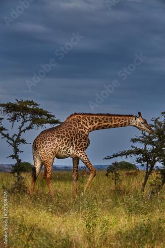 Fototapeta Giraffe in Africa 2, Nairobi National Park