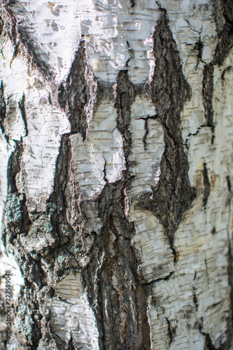 Fototapeta Birch texture