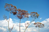 Dill dry plants, umbrella head with seeds on stem, soft blurry cloudy sky  background - 222592098