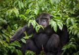 Common Chimpanzee sitting on tree. - 222597099