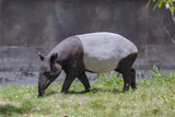Malayan Tapir. - 222599886