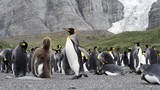 King Penguins colony - 222606856