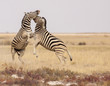 Pair of plains zebras viciously fighting