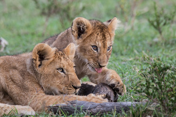 lion cub playing in the Masai Mara National Park in Kenya