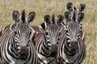 Zebra trio with 8 ears in the Masai Mara National Park in Kenya