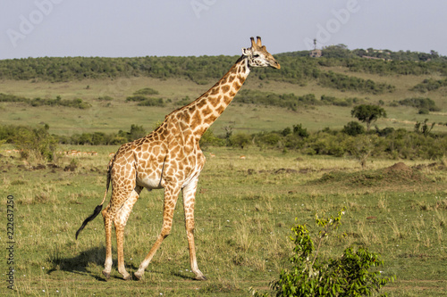 Fototapeta Big male giraffe in the Masai Mara National Park in Kenya