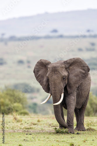 Fototapeta Elephant in the Masai Mara National Park in Kenya